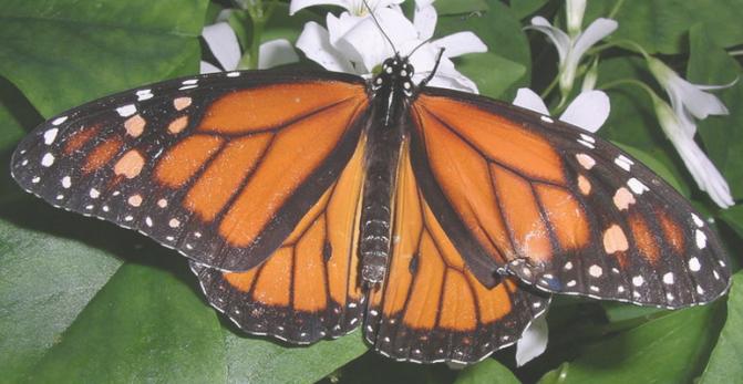 Bei den Monarchfaltern