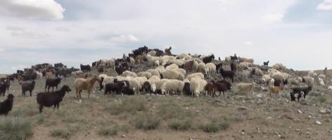 Ziegen und Schafe